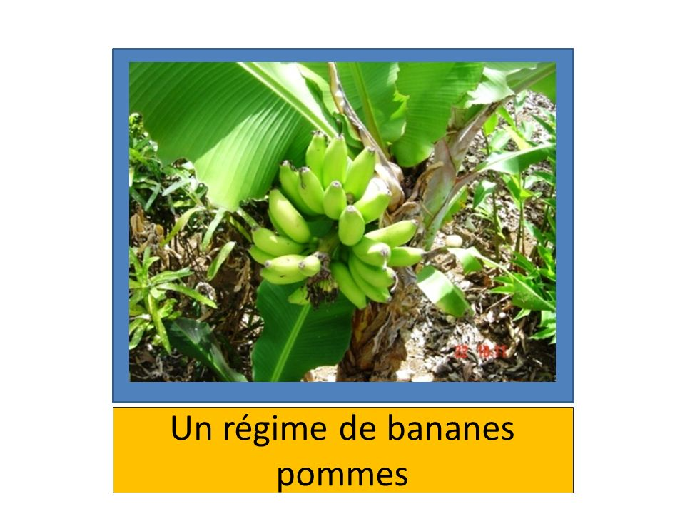 Un régime de bananes pommes