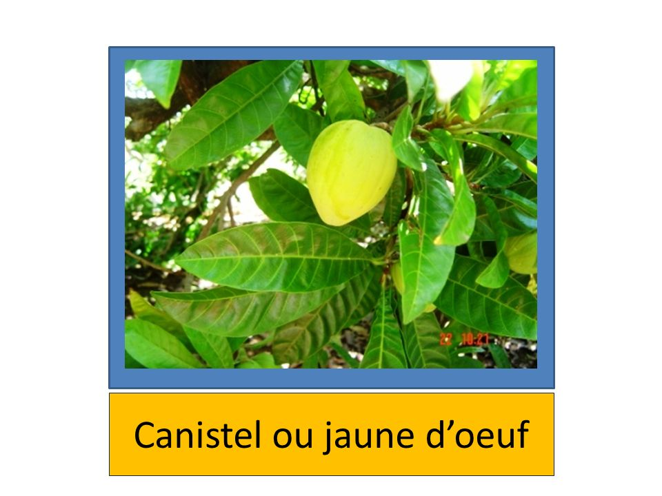 Canistel ou jaune d'oeuf
