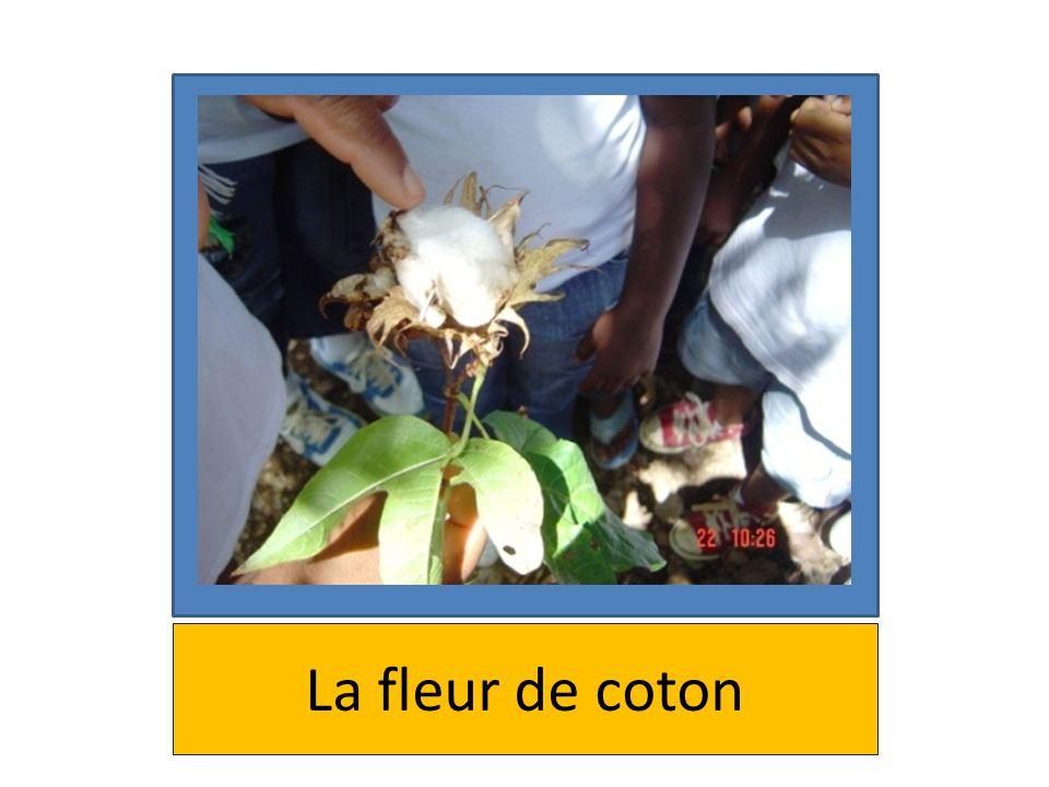 La fleur de coton