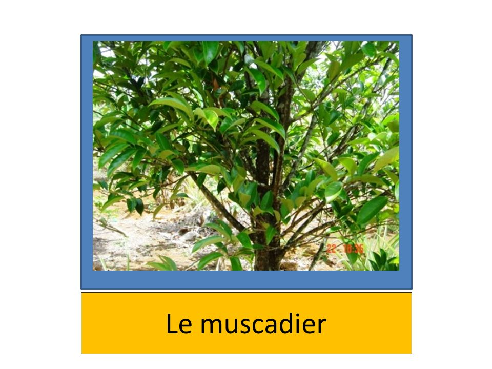 Le muscadier