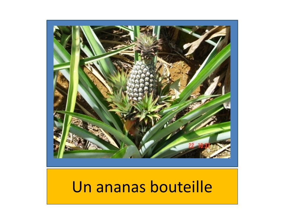 Un ananas bouteille
