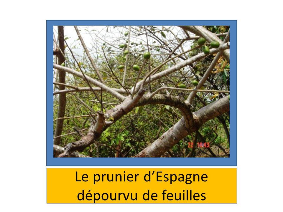 Le prunier d'Espagne dépourvu de feuilles