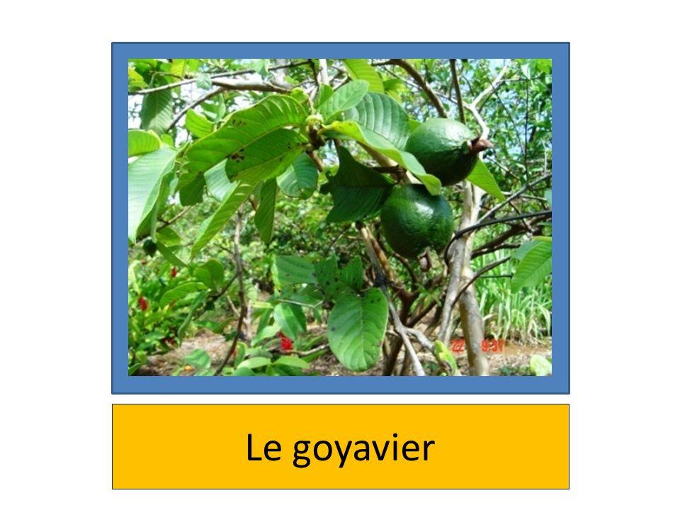 Le goyavier
