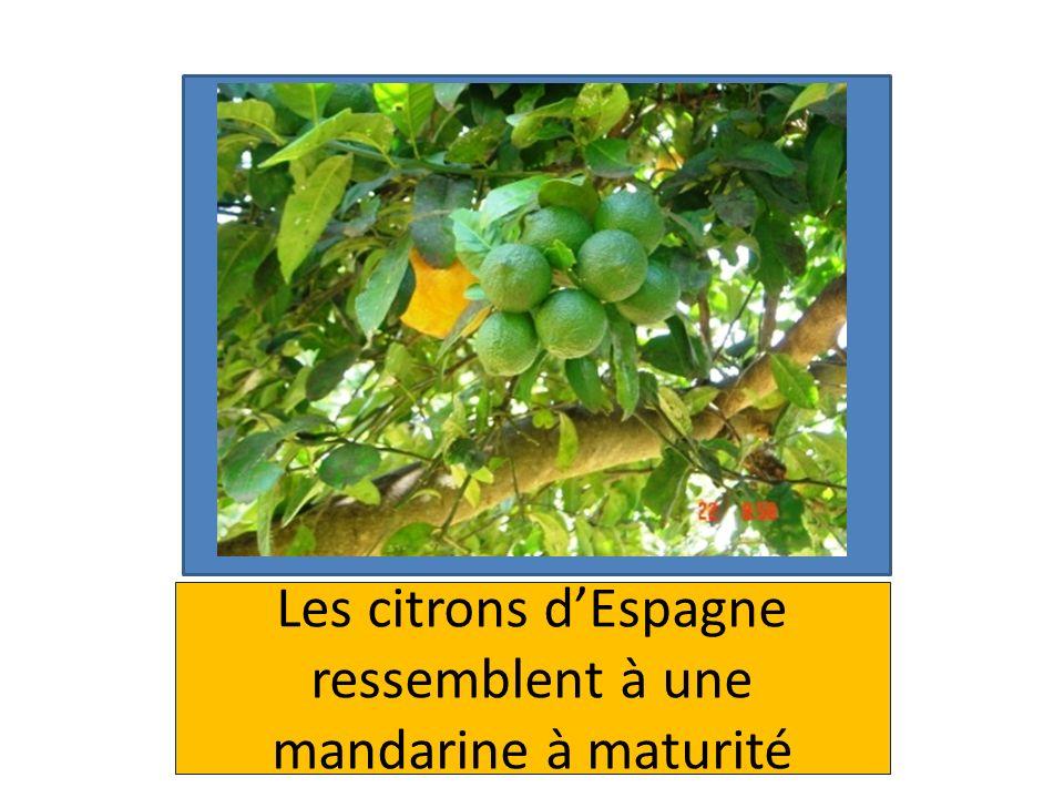 Les citrons d'Espagne ressemblent à une mandarine à maturité