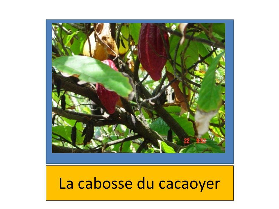 La cabosse du cacaoyer