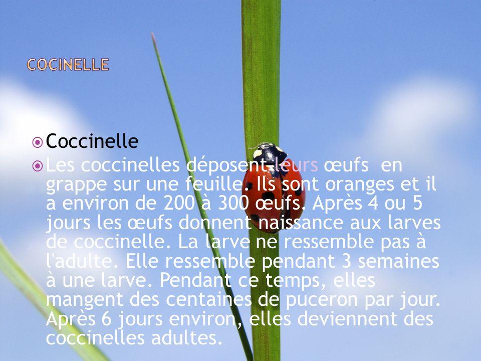 COCINELLE Coccinelle.