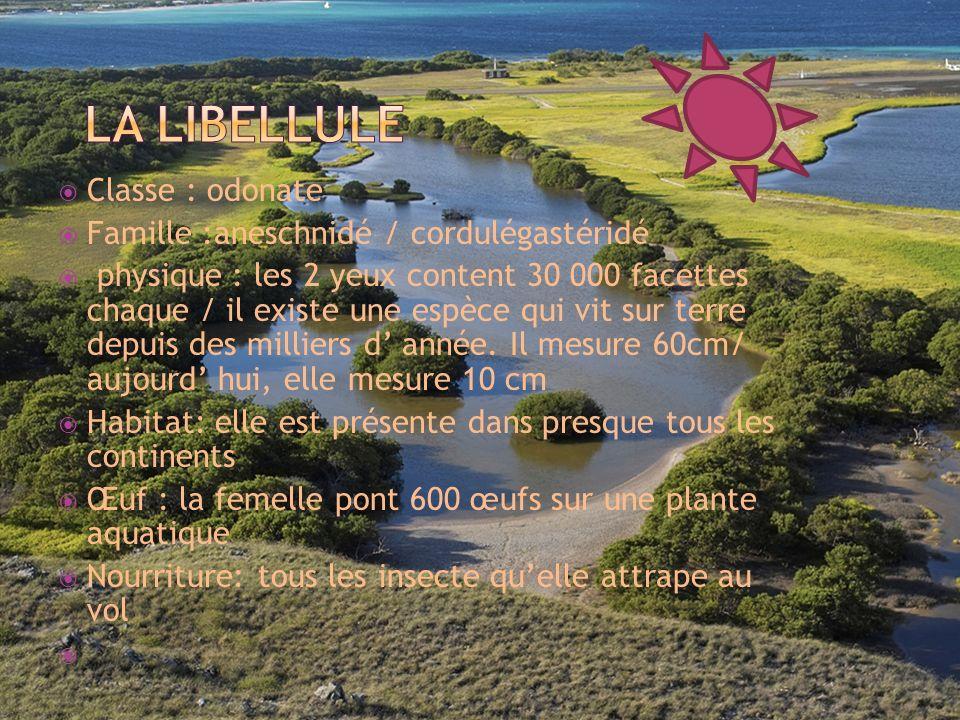 la libellule Classe : odonate Famille :aneschnidé / cordulégastéridé