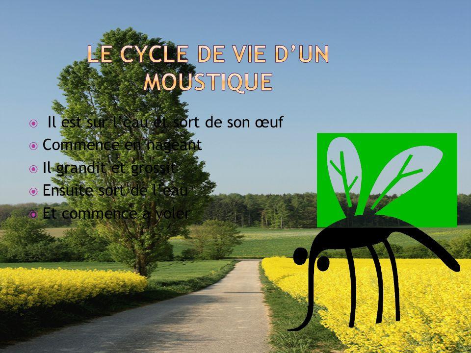 Le cycle de vie d'un moustique