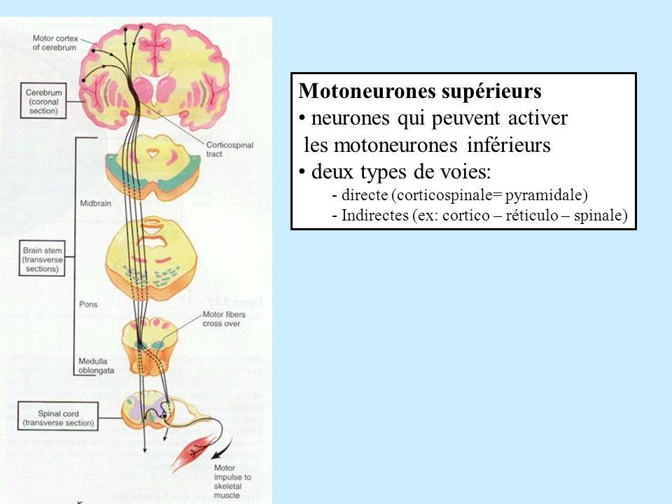 Motoneurones supérieurs neurones qui peuvent activer