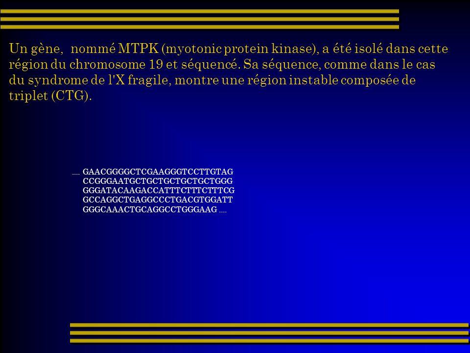 Un gène, nommé MTPK (myotonic protein kinase), a été isolé dans cette