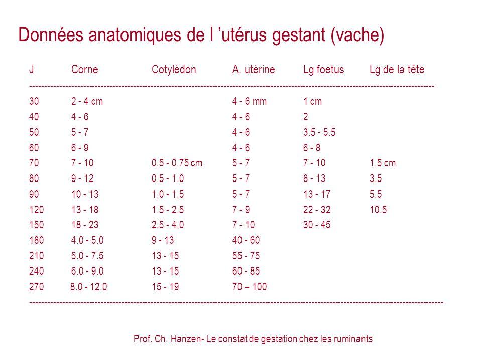 Données anatomiques de l 'utérus gestant (vache)