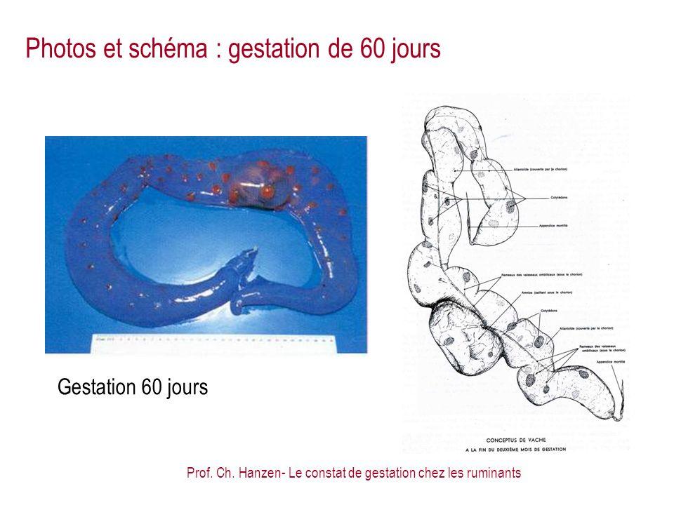Photos et schéma : gestation de 60 jours
