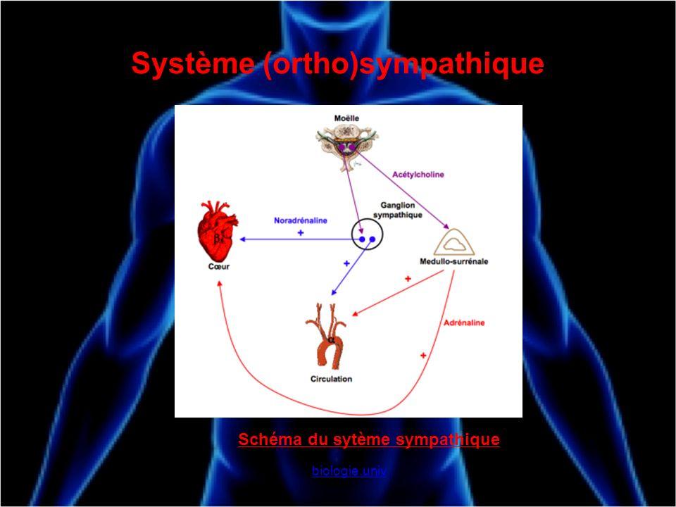 Système (ortho)sympathique