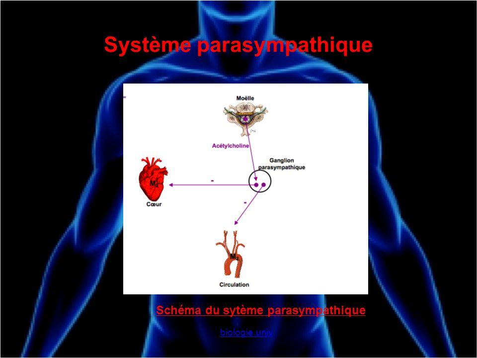 Système parasympathique