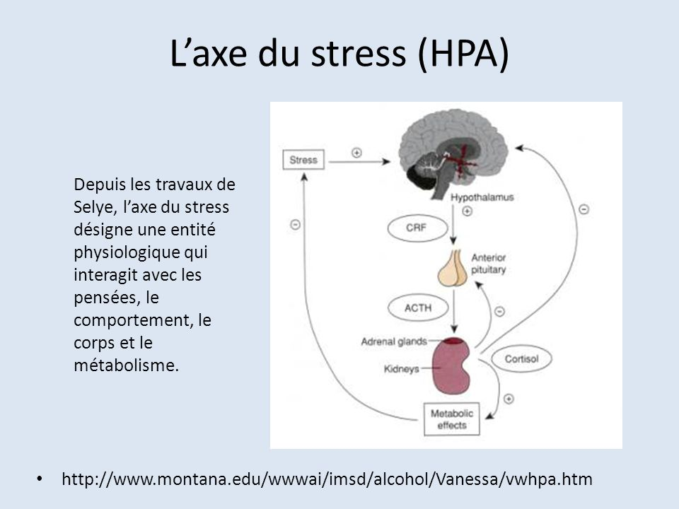 L'axe du stress (HPA)
