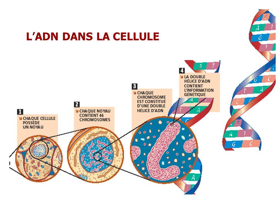 L'ADN DANS LA CELLULE