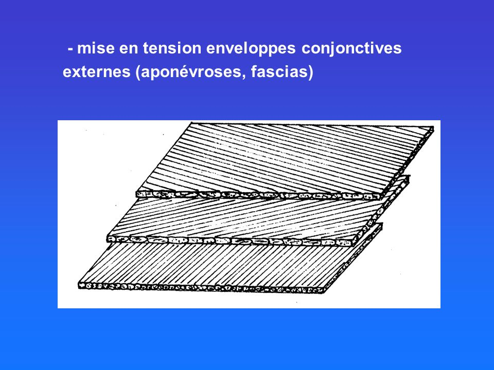 - mise en tension enveloppes conjonctives externes (aponévroses, fascias)