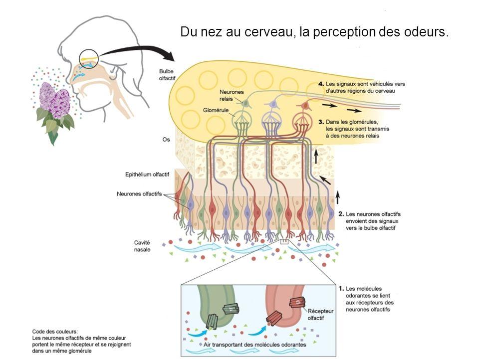 Du nez au cerveau, la perception des odeurs.