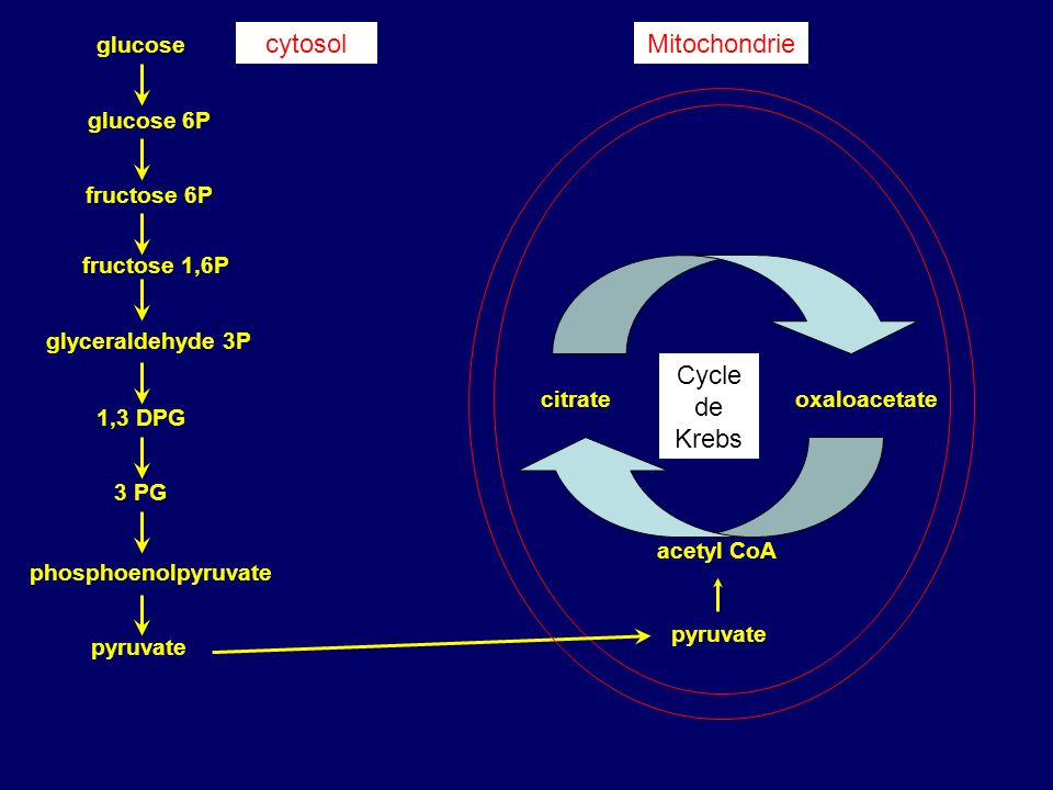 cytosol Mitochondrie Cycle de Krebs glucose glucose 6P fructose 6P