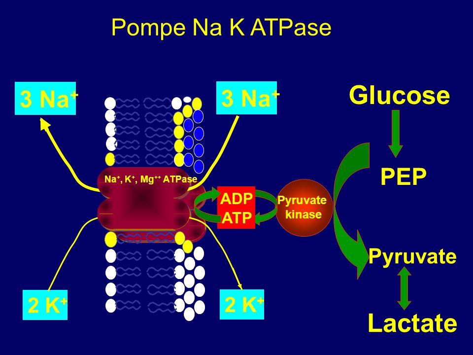 Glucose Lactate Pompe Na K ATPase 3 Na+ 3 Na+ PEP Pyruvate 2 K+ 2 K+ T