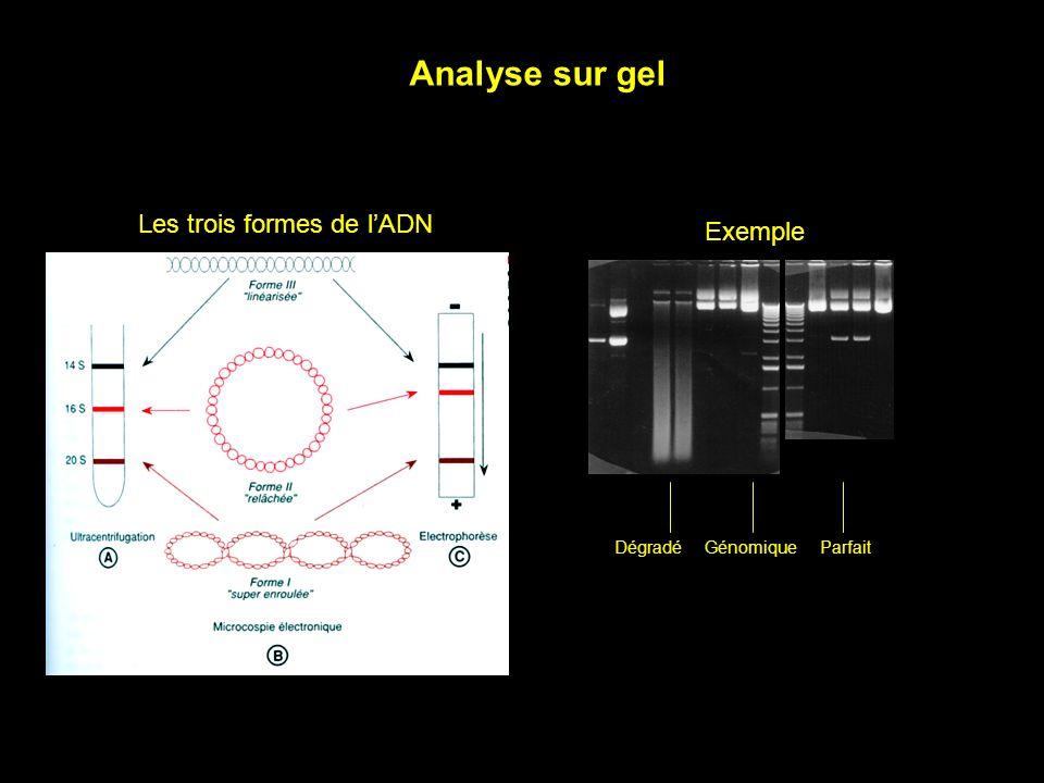 Analyse sur gel Les trois formes de l'ADN Exemple Dégradé Génomique