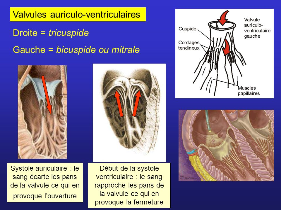 Valvules auriculo-ventriculaires