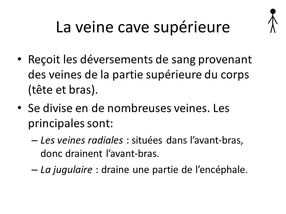 La veine cave supérieure