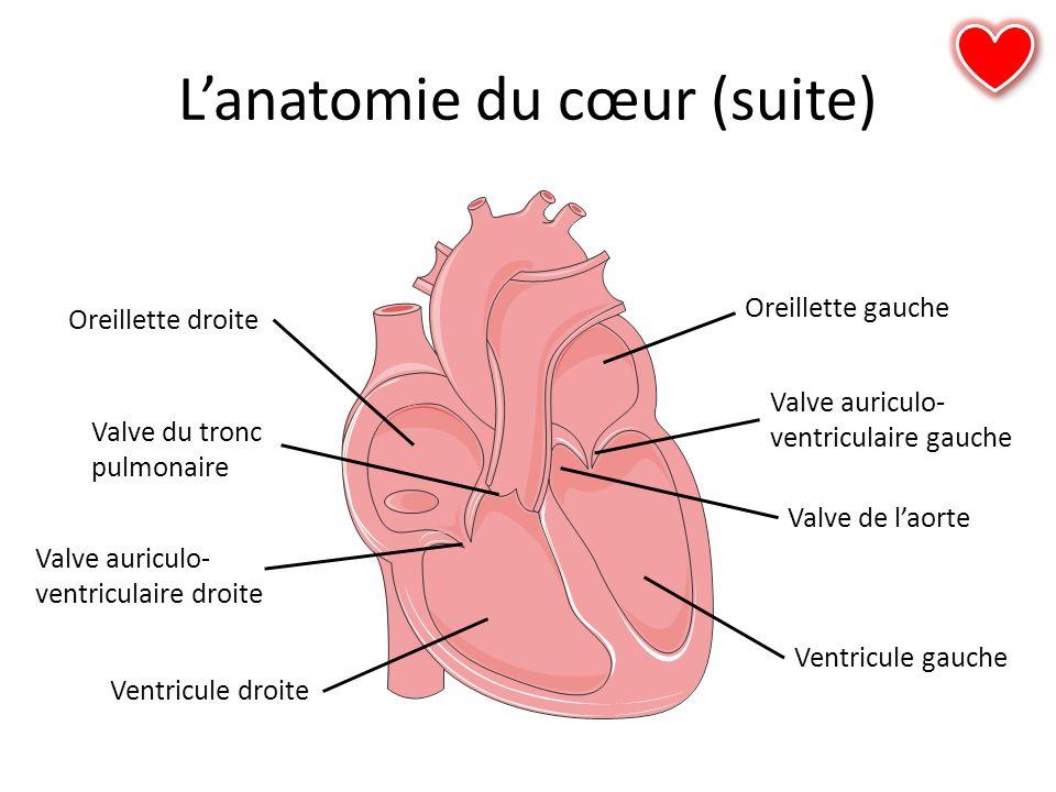 L'anatomie du cœur (suite)