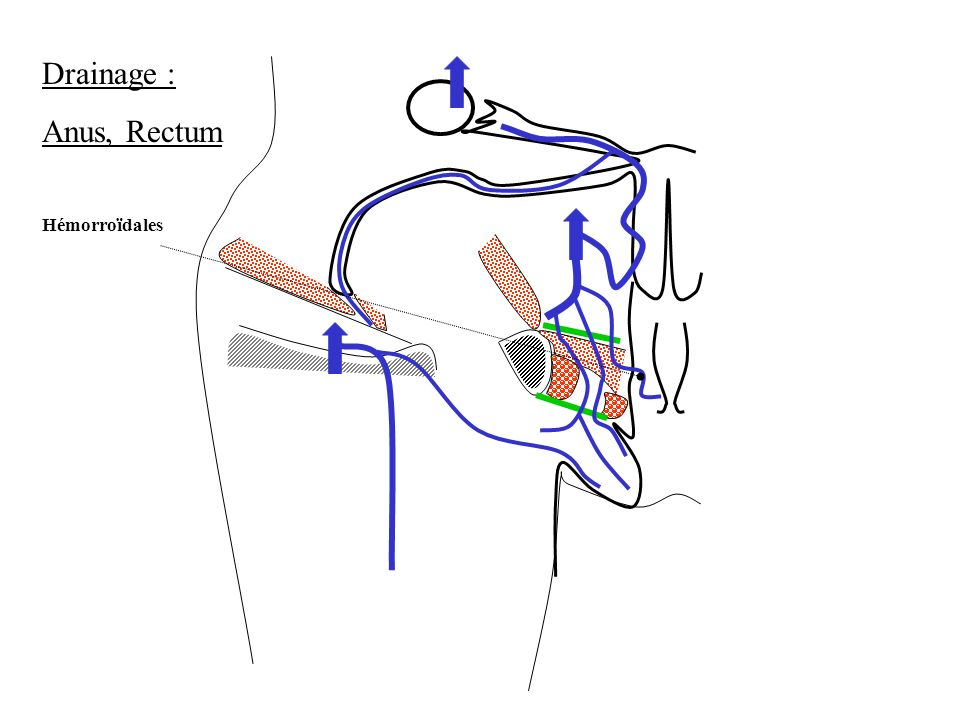 Drainage : Anus, Rectum Hémorroïdales