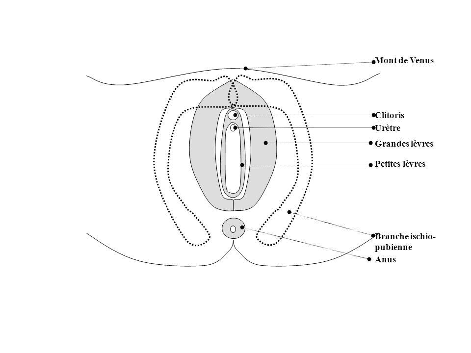 Mont de Venus Clitoris Urètre Grandes lèvres Petites lèvres Branche ischio-pubienne Anus