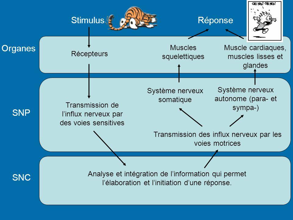 Stimulus Réponse Organes SNP SNC Muscles squelettiques