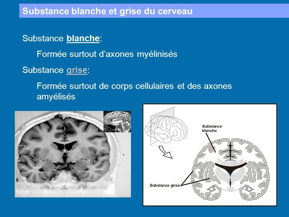 Substance blanche et grise du cerveau
