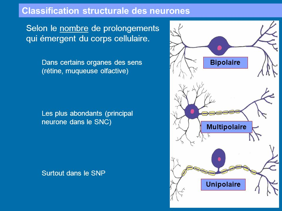 Classification structurale des neurones