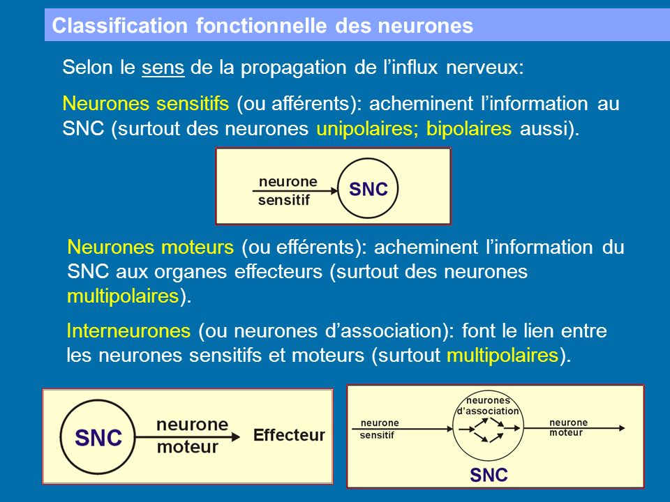 Classification fonctionnelle des neurones