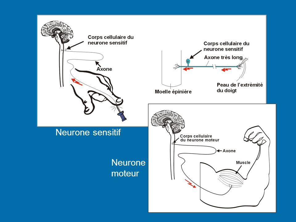 Neurone sensitif Neurone moteur