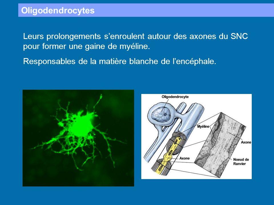 Oligodendrocytes Leurs prolongements s'enroulent autour des axones du SNC pour former une gaine de myéline.