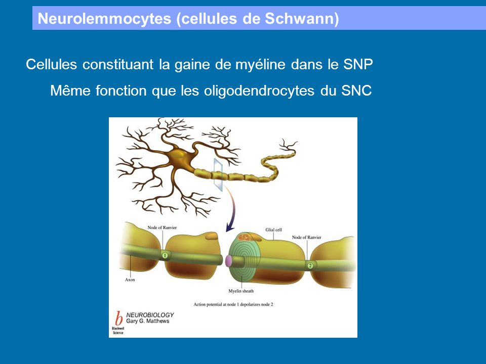 Neurolemmocytes (cellules de Schwann)