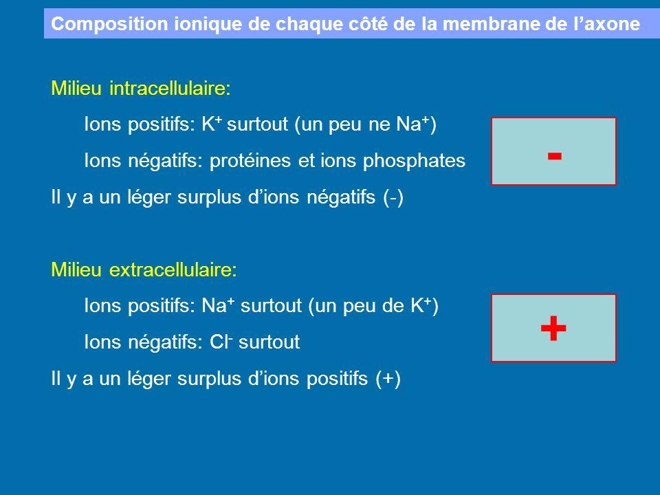 - + Milieu intracellulaire: Ions positifs: K+ surtout (un peu ne Na+)