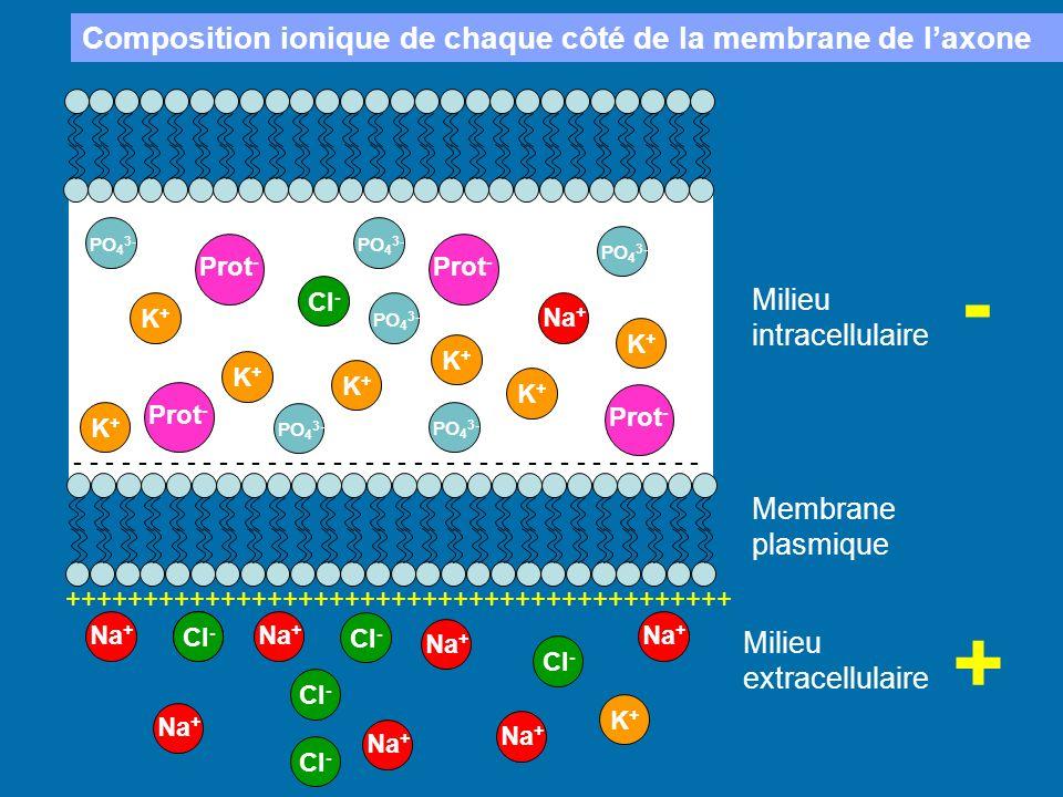 - + Composition ionique de chaque côté de la membrane de l'axone