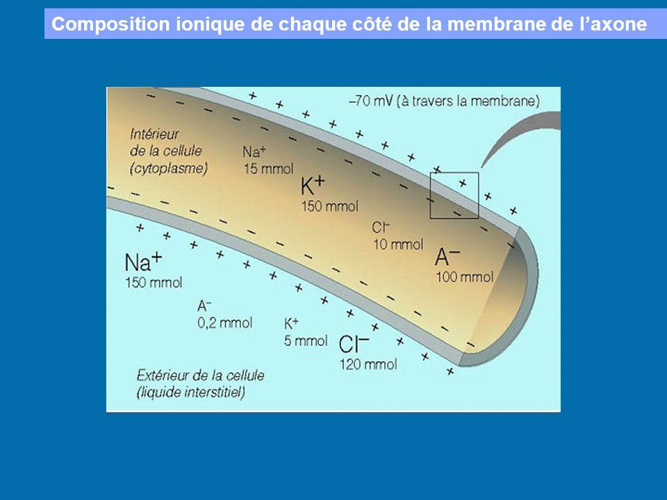 Composition ionique de chaque côté de la membrane de l'axone
