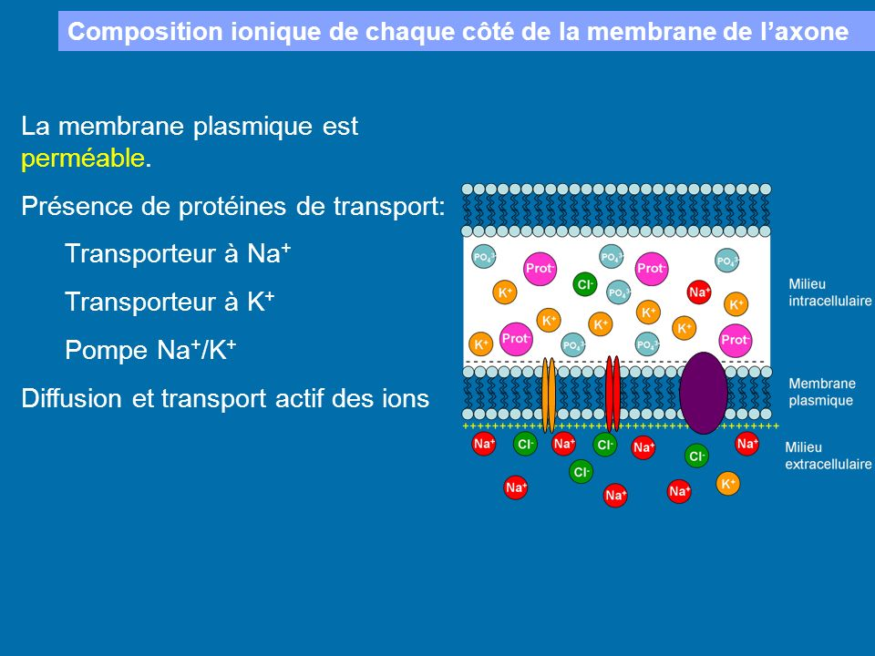 La membrane plasmique est perméable.