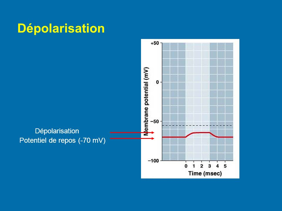Dépolarisation Dépolarisation Potentiel de repos (-70 mV)