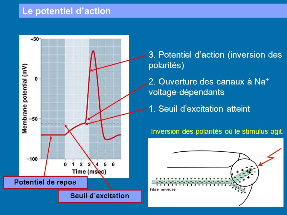 Le potentiel d'action 3. Potentiel d'action (inversion des polarités)