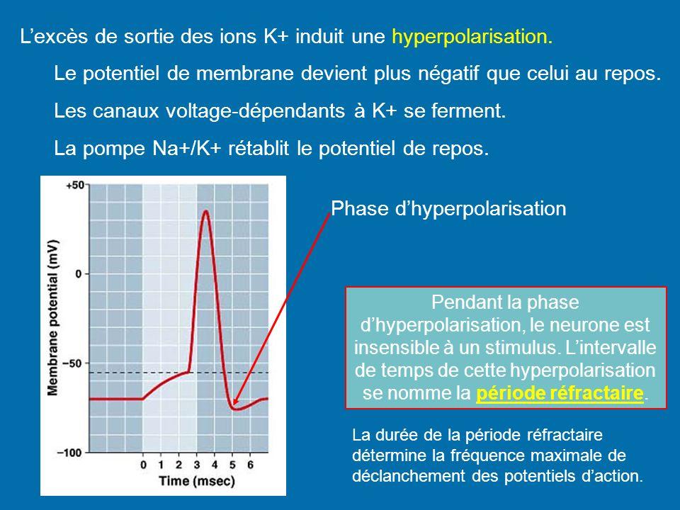 L'excès de sortie des ions K+ induit une hyperpolarisation.