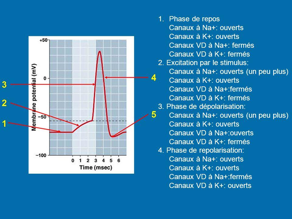 Phase de repos Canaux à Na+: ouverts. Canaux à K+: ouverts. Canaux VD à Na+: fermés. Canaux VD à K+: fermés.