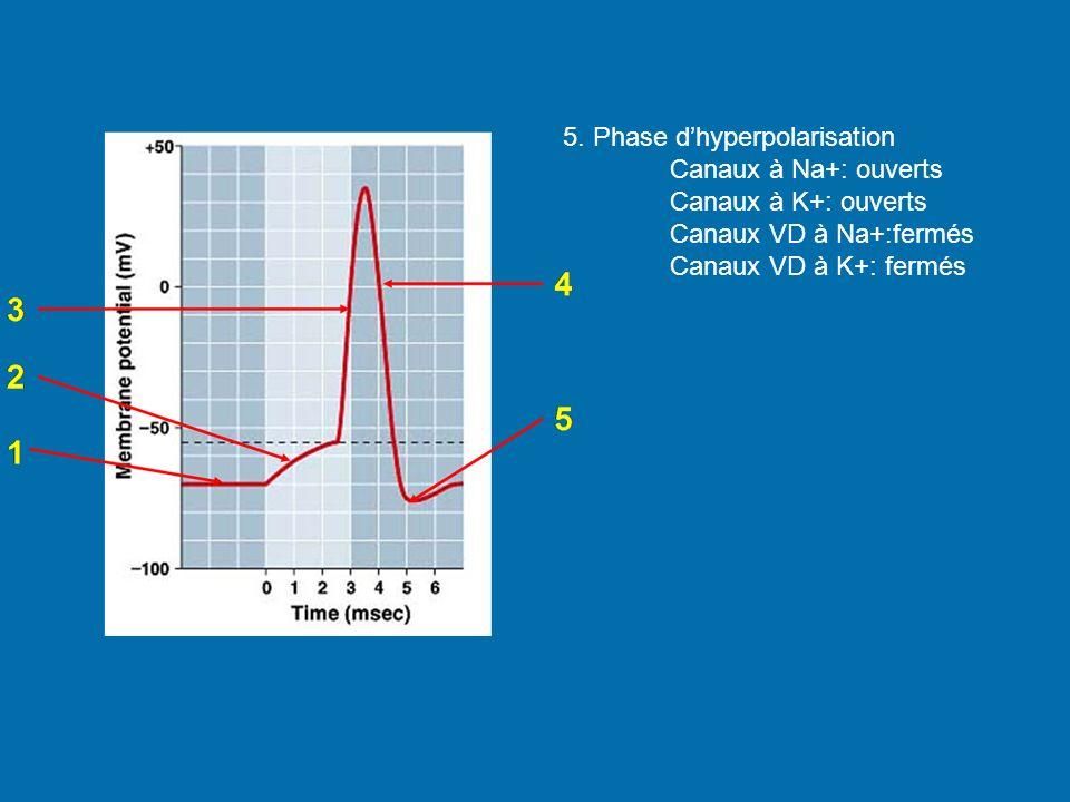 5. Phase d'hyperpolarisation