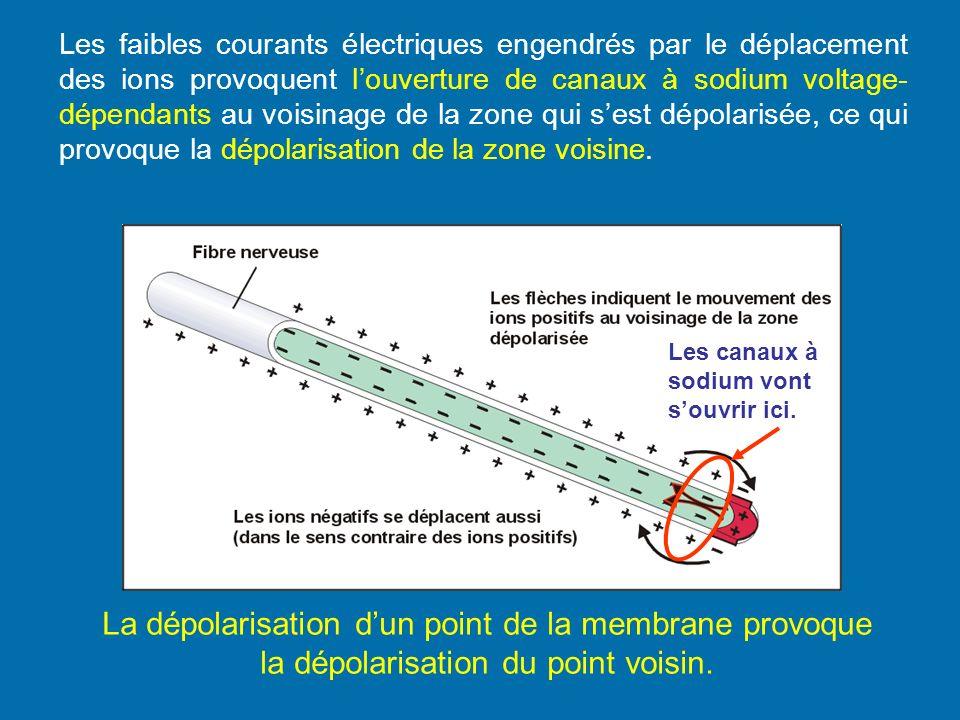 Les faibles courants électriques engendrés par le déplacement des ions provoquent l'ouverture de canaux à sodium voltage-dépendants au voisinage de la zone qui s'est dépolarisée, ce qui provoque la dépolarisation de la zone voisine.