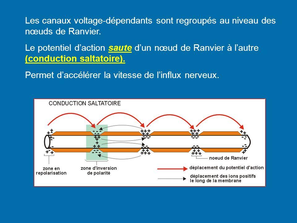 Les canaux voltage-dépendants sont regroupés au niveau des nœuds de Ranvier.