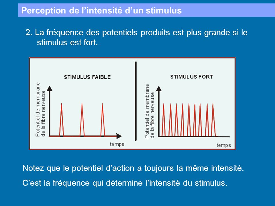 Perception de l'intensité d'un stimulus