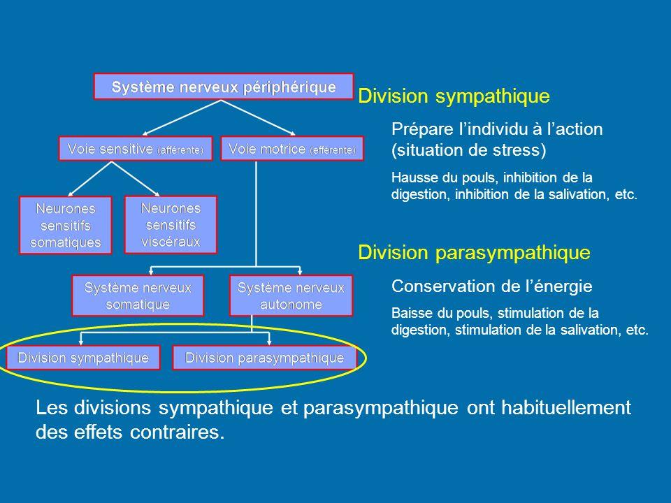 Division parasympathique